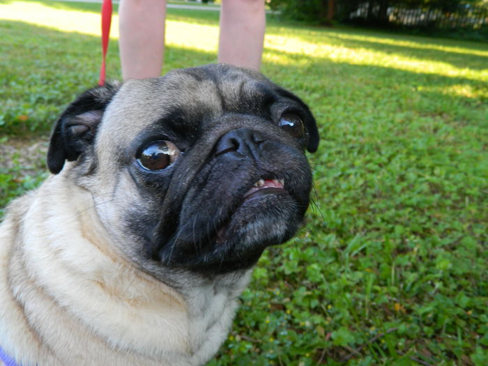 Pug close up 2 Animal Head  Background Big Eyes Canine Close-up Cute Day Day Time Dog Field Focus On Foreground Grass Image Of Lawn Looing Good Outdoors Pet Collar Pets Photo Of Picture Of Portrait Pug Relaxation Resting Shades Of Grey