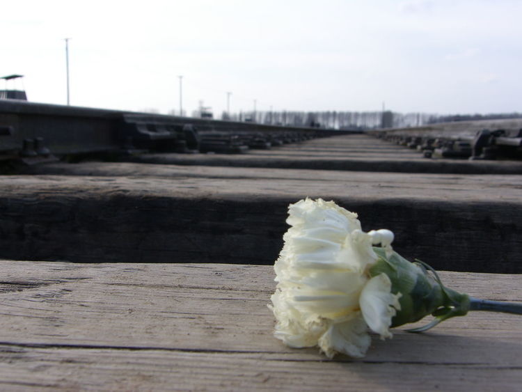 White Rose laid on the Train Tracks of Auschwitz  Birkenau . Railway Tracks Sad Day Sad
