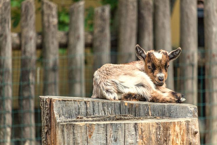 Portrait of kid goat on stump