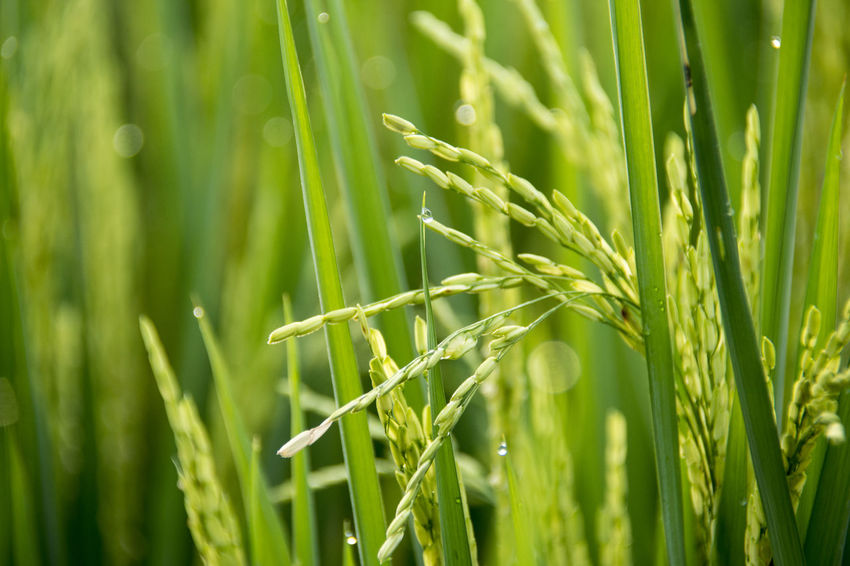 Green Color Growth Plant Nature Beauty In Nature Field Day Land Close-up Tranquility Agriculture Grass Cereal Plant No People Crop  Farm Outdoors Selective Focus Rural Scene Sunlight Blade Of Grass Plantation Rice Rice Paddy Rice - Food Staple
