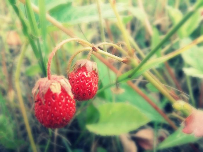 Stawberry Red