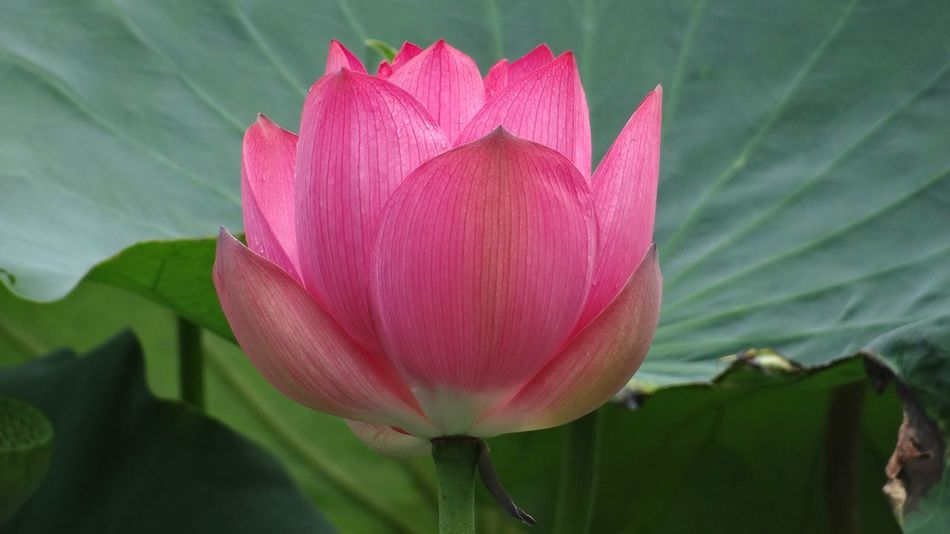 Lotus Flower EyeEm Nature Lover Pink Macro Beauty Nature's Diversities Found On The Roll Nature Color Of Life