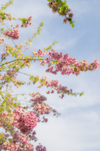 Beauty In Nature Blossom Branch Cherry Blossom Cherry Tree Close-up Cloud - Sky Day Flower Flowering Plant Fragility Freshness Growth Low Angle View Nature No People Outdoors Pink Color Plant Sky Spring Springtime Tree Vulnerability