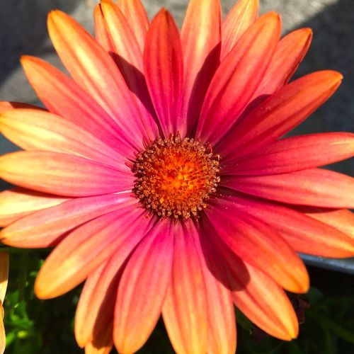 Daisy Flower Gardening Beauty In Nature Close Up Close-up Day Flower Flower Head Flowering Plant Focus On Foreground Fragility Freshness Growth Inflorescence Nature No People Orange Color Outdoors Petal Plant Pollen Vulnerability