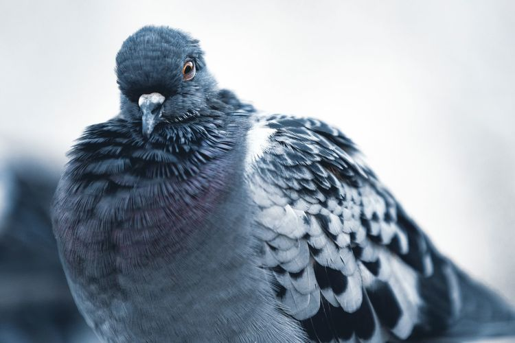 Pigeon One Person Real People Headshot Portrait Indoors  Men Lifestyles Digital Composite Nature Human Representation Close-up Representation Day Leisure Activity Blue