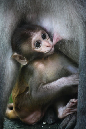 Animal Body Part Animal Family Animal Hair Animal Head  Animal Themes Black Color Close-up Cute Day Focus On Foreground Infant Mammal Monkey Monkeytemple Nature Nepal No People Portrait Young Animal Zoology