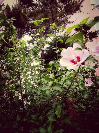 무궁화 Hildepics Sharon Flower