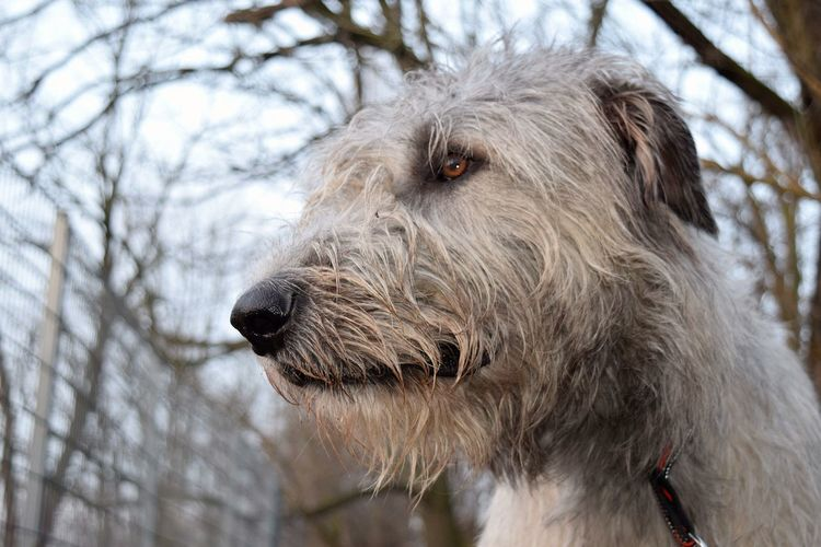 Close-up Bokeh Animals In The Wild Outdoors Day Tree Animal Themes Winter 2017 Portrait Irish Wolfhound Cearnaigh Dogs Of EyeEm How's The Weather Today? Dogs Of Winter Dogslife Dogwalk Domestic Animals Dog
