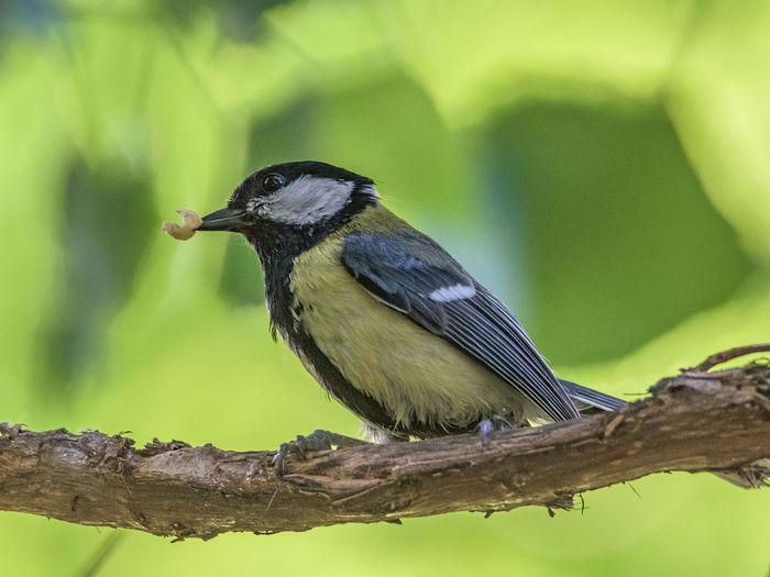 Close-up of bird perching on branch, tit bird