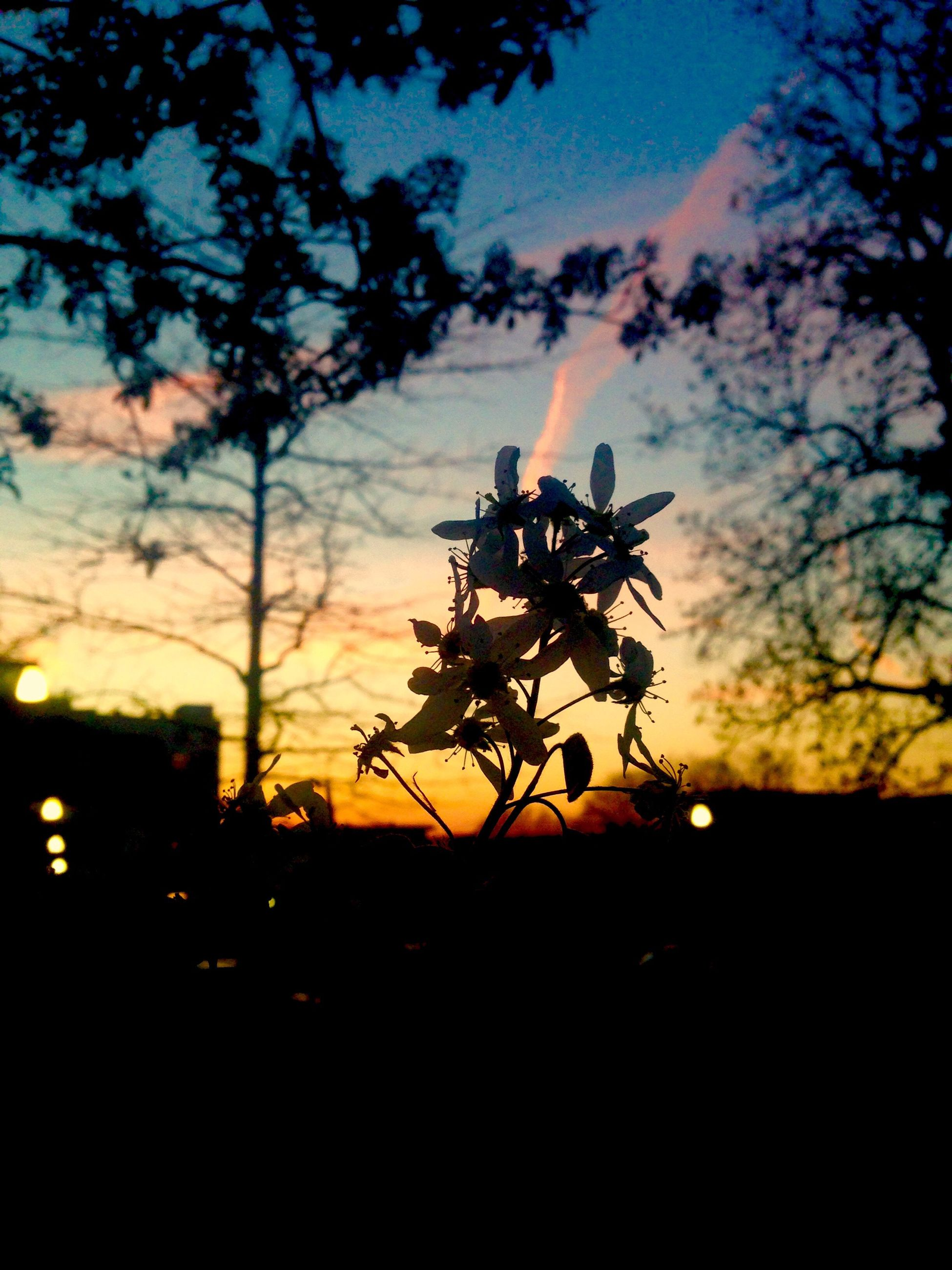 sunset, silhouette, nature, beauty in nature, growth, sky, tree, petal, no people, plant, outdoors, scenics, flower, blooming, flower head, close-up, freshness, day