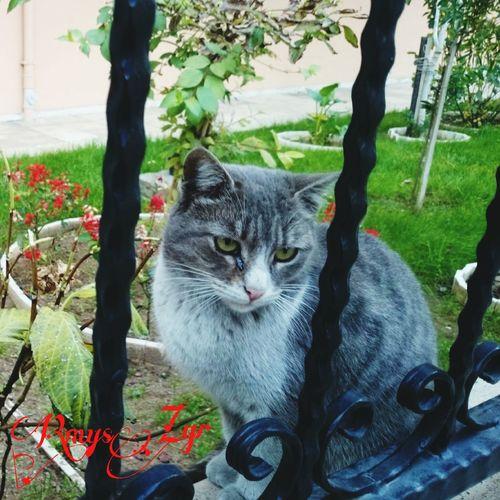 Pisicik Kedi Kedi Aşkı Catcatcat