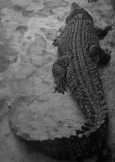 Crocodile Animals Black & White Mini Zoo Bintan