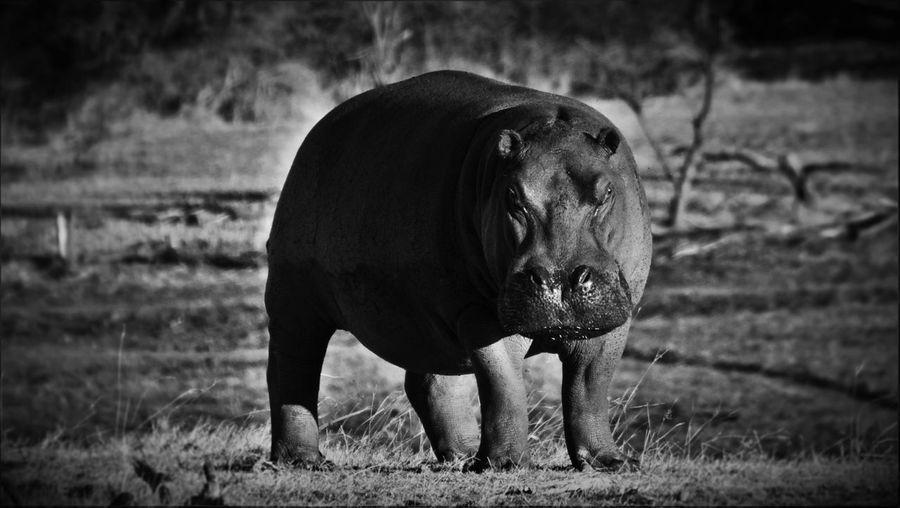 Hippopotamus Standing On Field