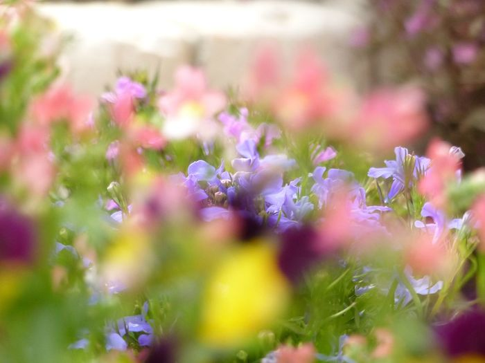 Coluful garden Gardening Garden Flower EyeEm Selects Flower Flowering Plant Plant Beauty In Nature Freshness Vulnerability  Nature Pink Color Close-up