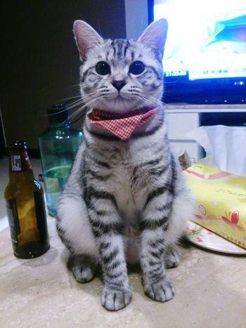 """嘿!我是一隻胖母貓?!我叫的聲音也是""""姆~貓""""?? 為何一直批評我肥啊!(盯 Pet Cat Lovers Kawai かわいい Cat♡ 貓 Cat ねこ Cute Cats Peropero"""