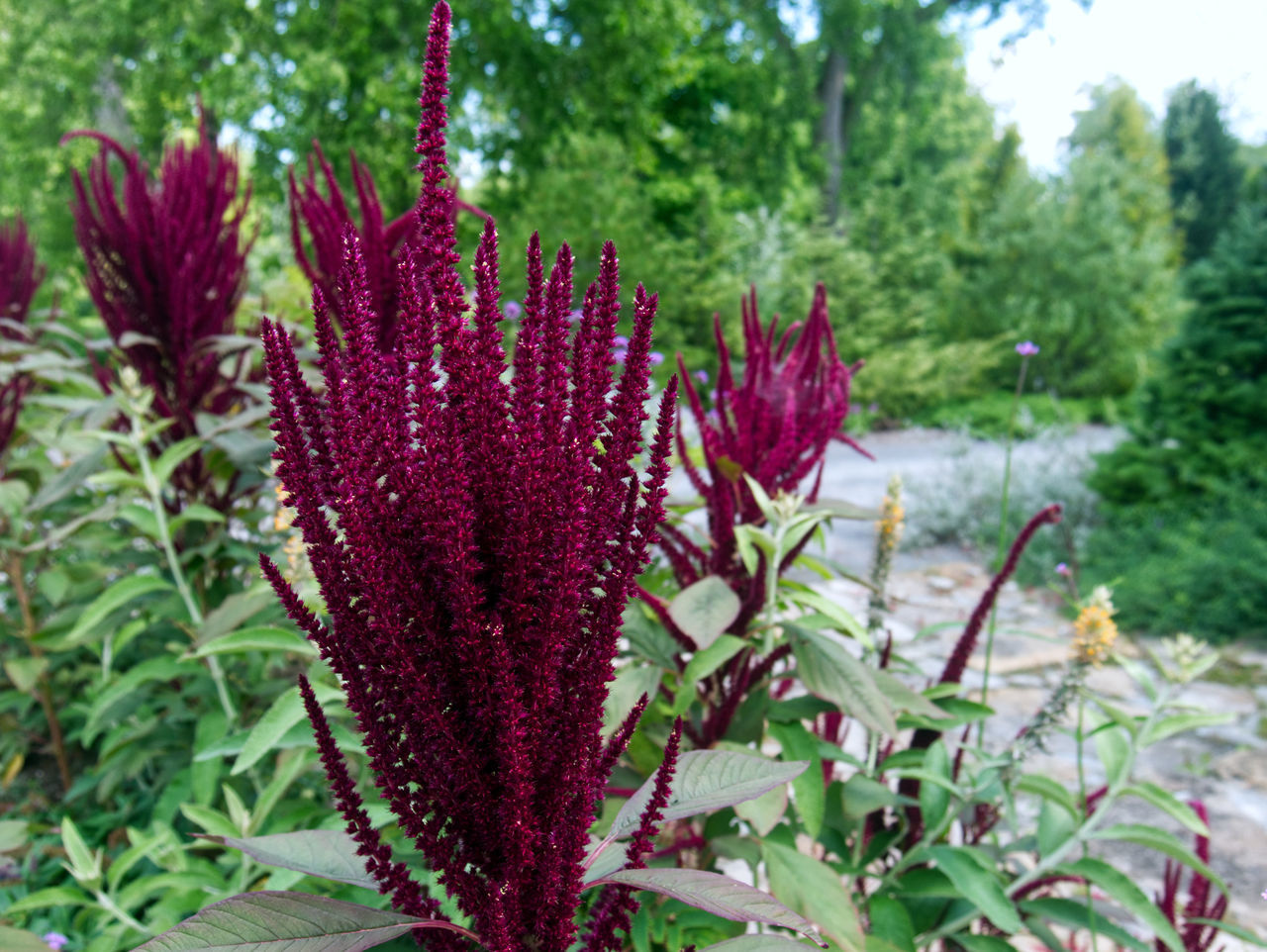 CLOSE-UP OF PURPLE FLOWERING PLANT IN SUNLIGHT