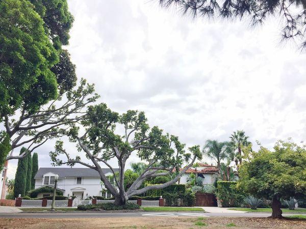Los Angeles, California Glendale California City Trees Tree
