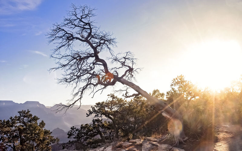 Barren tree leaning over in the Grand Canyon Tree Barren Beauty In Nature Plant Sky Nature Lens Flare Sun Mountain Grand Canyon Cloud - Sky Outdoors Tranquil Scene Scenics - Nature Sunlight Bright Non-urban Scene Sunbeam Branch Leafless No People Day Tranquility