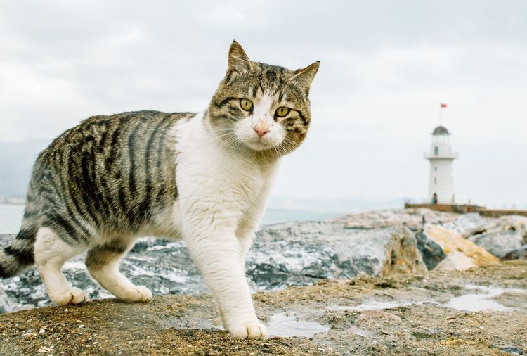 Street cat Cat Street Cat Turkish Cat Lighthouse Turkey Alanya Cat Lovers Cats Of EyeEm Cat Photography Pets Portrait Domestic Cat Feline Looking At Camera Sky Cloud - Sky Horizon Over Water Wave Ocean Sea Rocky Coastline Whisker Seascape Surf Calm Beach Coast Tabby Cat Sandy Beach Hooded Beach Chair