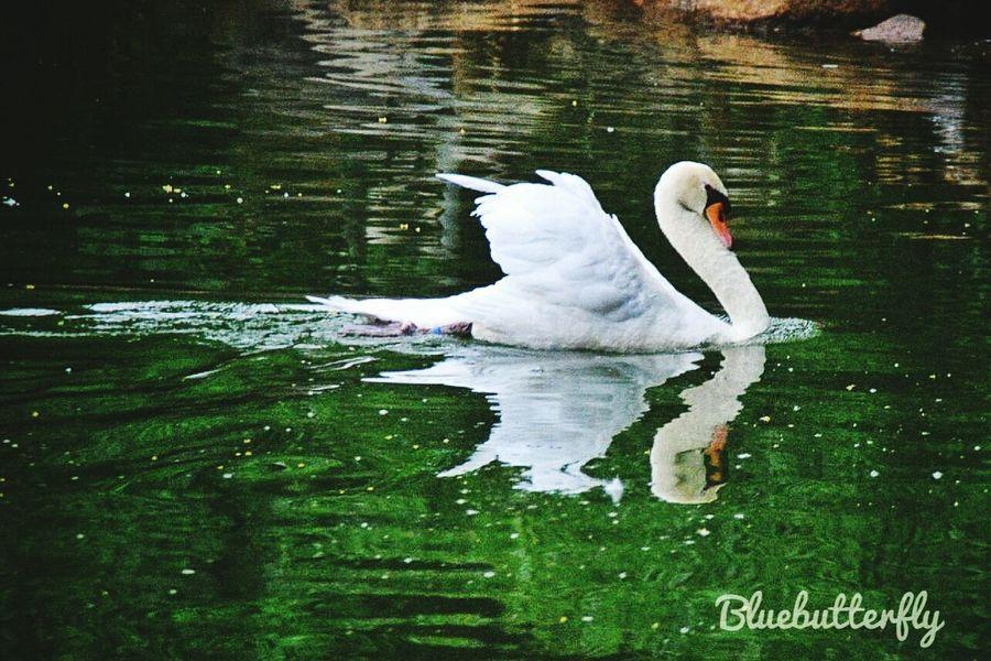 At Swan lake...... Swan Reflection Animal Wildlife White Color Nature