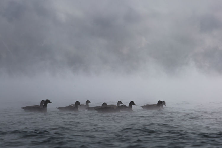 Geese swimming in river during foggy weather