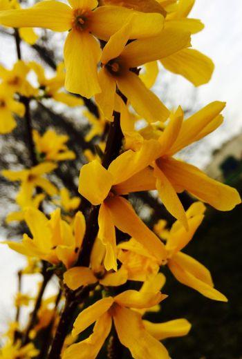 Paint The Town Yellow Forsizia Flower Springtime