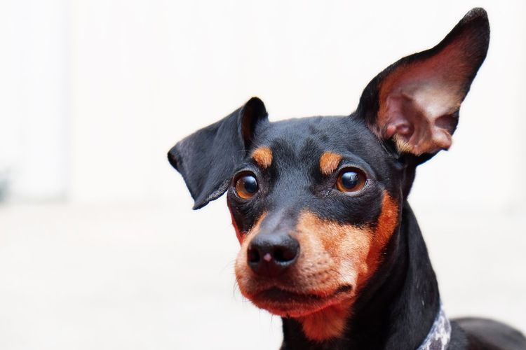 Dog Pets Portrait Minpins Animals Eyes