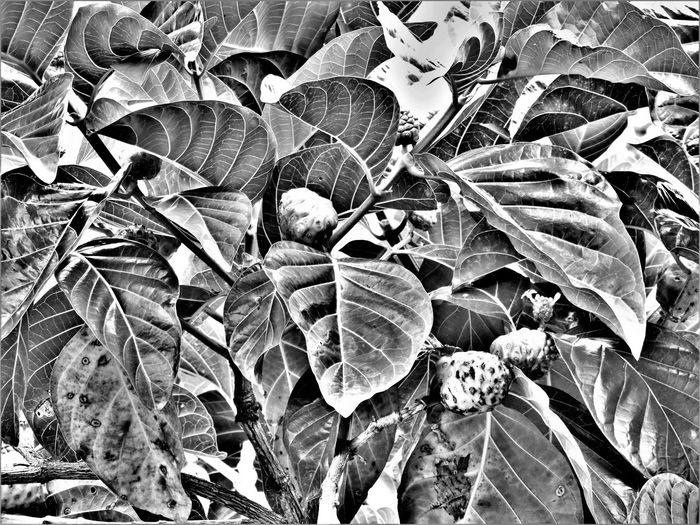 Close-up Day Food Stories Fragility Leaf Nature No People Non-urban Scene Noni Outdoors
