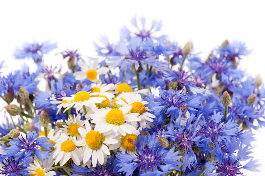 Cornflower and chamomile bunch blooms, bouquet isolated on white background. Bachelor Bachelors Bachelors Button BlueBottle Bouquet Boutonniere Bunch Camomile Camomiles Centaurea Cyanus Chamomile Chamomiles Cyanideandhappiness Flower Flowers Hurtsickle Mayweed Flower Weed Weeds