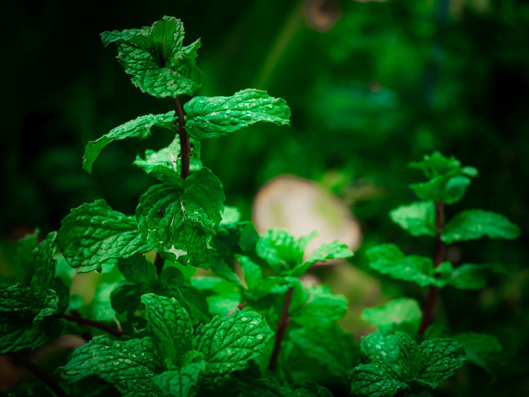 Architecture Cooking Herb Ingredients Essential Foliage Garden Mint Oganic  Oil Peppermint Peppermint Plant Vegetable