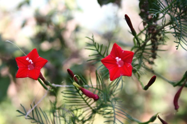 Ganesh Vel Flowers,Plants & Garden Flowerlovers Garden Photography In My Garden