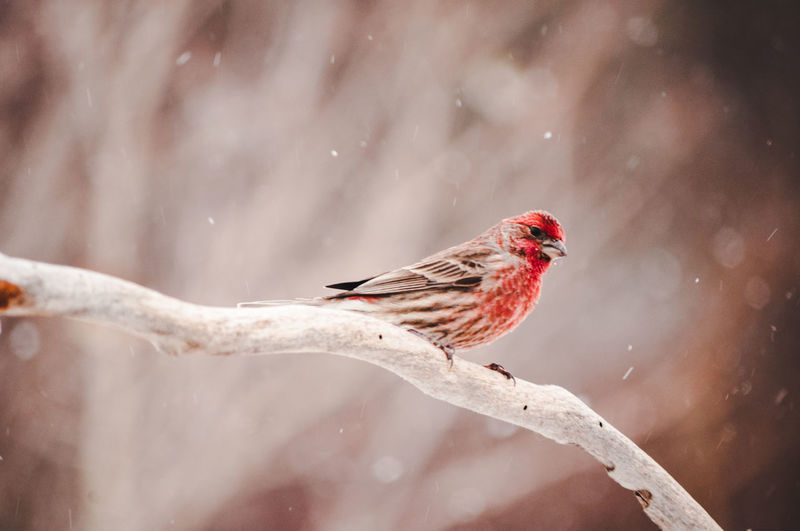 Bird Animal Themes Vertebrate Animal Animals In The Wild Animal Wildlife One Animal Perching Day Winter Nature Cardinal - Bird Cold Temperature No People Outdoors Focus On Foreground Snow Close-up Red Snowing