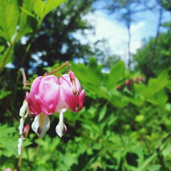 Flowers Nature Bleeding Hearts