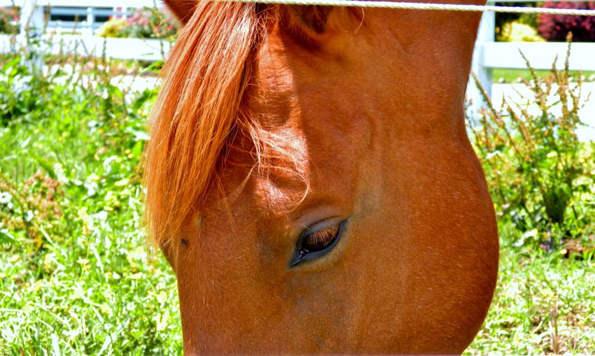 Eye of an angel Background Brown Close-up Cropped Day Eye Fence Grass Grazing Green Color HEAD Horse Image Main Nature Outdoors Part Of Peaceful Photo Picture Portrait Reddish Scene Soulful Sunny