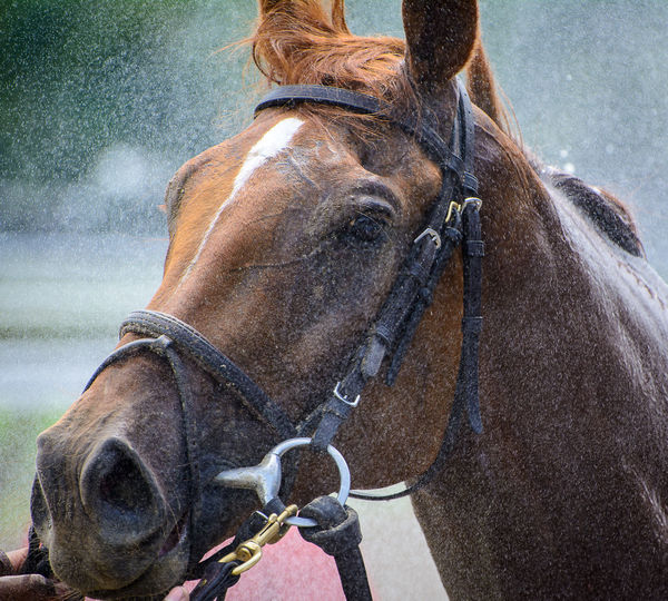 A thoroughbred horse gets a bath after a race Animal Themes Equus Caballus Przewalskii Horse Horse Closeup Horse Head Horse Life Horse Love Horse Photography  Horse Racing Mammal No People One Animal Outdoors Saratoga Race Course Thoroughbred Thoroughbredhorse