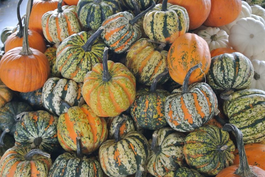 Pumpkins for days Pumpkin Food And Drink Food Healthy Eating Large Group Of Objects Wellbeing Abundance Orange Color Freshness No People Still Life Vegetable Day Market Variation For Sale Squash - Vegetable High Angle View Full Frame Choice