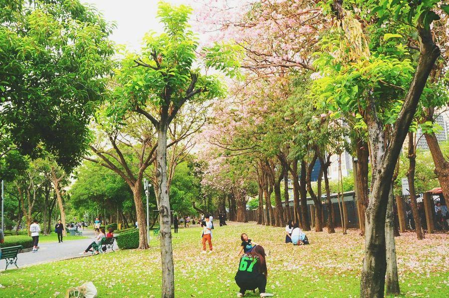 ชมพูพันทิพย์ Tree Real People Growth Nature Park - Man Made Space Men Women Outdoors Leisure Activity Day Beauty In Nature Green Color Large Group Of People Adults Only Adult People Only Men Bangkok Thailand.