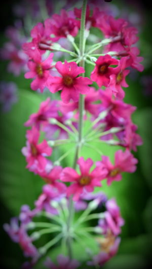 Beauty In Nature Blooming Close-up Day Flower Flower Head Fragility Growth Natural Pattern Nature Outdoors Pink Color Stem