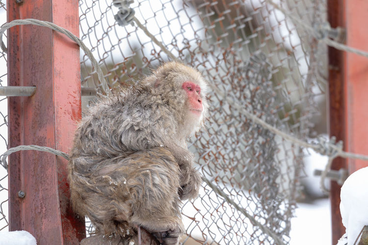 Japanese snow monkey Snow Monkey Monkey Japanese Macaque Jigokudani Jigokudani-Snow-Monkey-Park Primate Animal Themes Animal Vertebrate Cage Animals In Captivity One Animal Fence Mammal Animal Wildlife Cold Temperature Winter Animals In The Wild No People Snow Outdoors Day Barrier Boundary Chainlink Fence