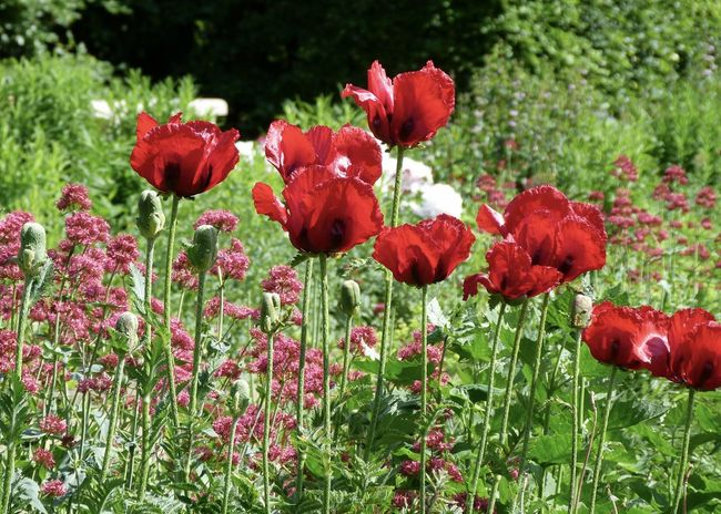 Springtime in the garden Beauty In Nature Beauty In Nature Close-up Enjoying Life Field Flower Flower Head Flowering Plant Fragility Freshness Garden Greenery Growth Land Leaves Lush Nature Outdoors Petal Plant Poppy Red Rosé Spring Vulnerability