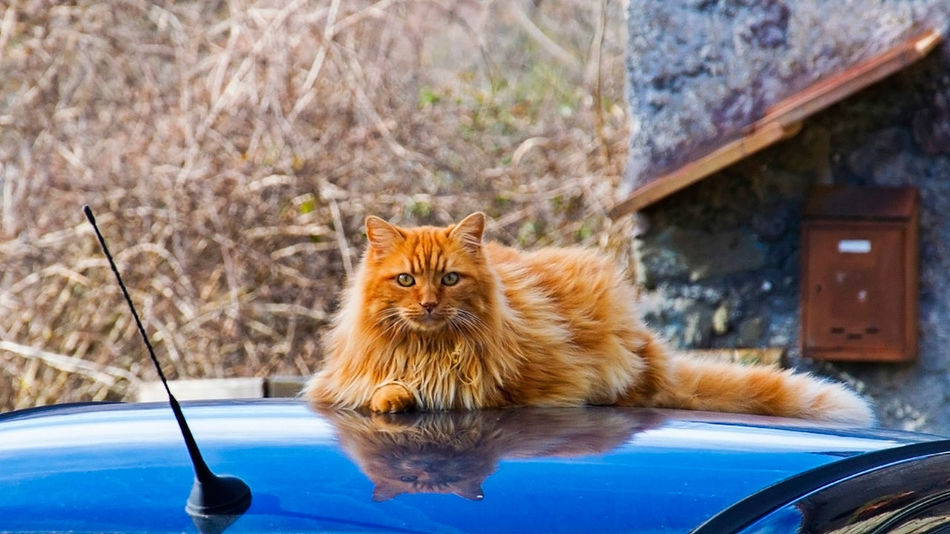 Cats Tiger Domestic Cat Pets One Animal Domestic Animals Feline Portrait Looking At Camera