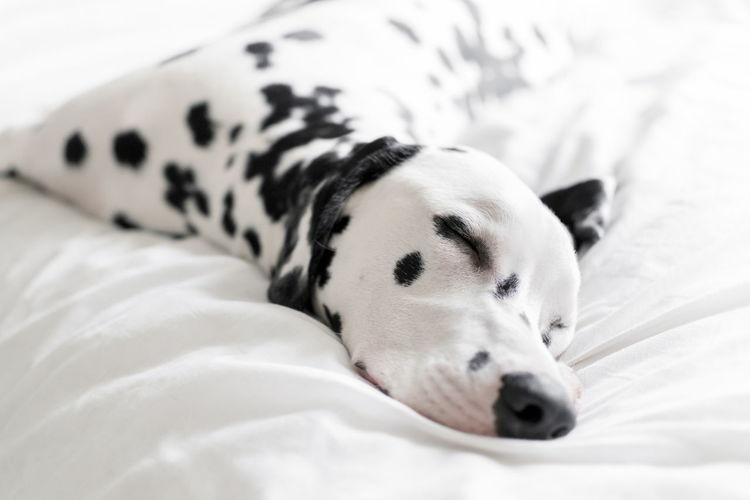 Close-Up Of Dalmatian Sleeping On Bed