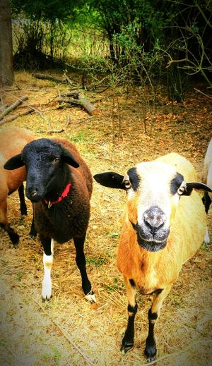 Animal Themes Two Animals Sheep🐑 Two Sheep Rural Scene Sunnyday Natural Beauty Naturelovers Looking At Camera Straw Sheep Head Nature Pets Standing Shadow Sand High Angle View