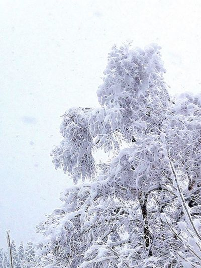 Snow covered tree, Winter Snow Cold Temperature Nature Weather No People Tree Beauty In Nature Day Outdoors Frozen Close-up Ice Snowing Fragility Frosted Glass Sky