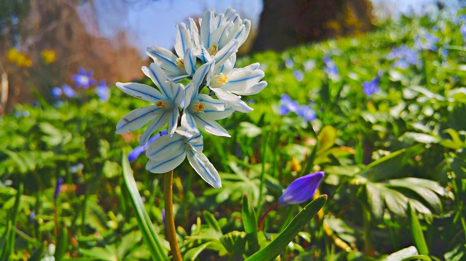 Beauty In Nature Blooming Blossom Blue Close-up Day Dortmund Flower Flower Head Focus On Foreground Fragility Freshness Growth In Bloom Nature No People Outdoors Petal Plant Purple Rombergpark Scilla Skilla Skilla Flower Stem
