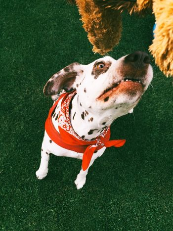 Dog Pets Dalmatian Pets Corner Dogportrait Dogplaying Playing Portrait Of A Friend The Moment - 2015 EyeEm Awards Animals