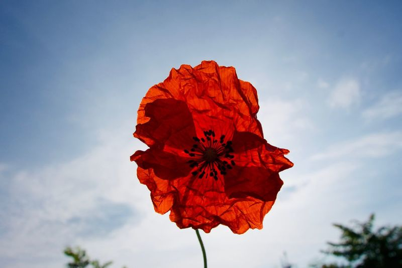 Poppy Flower Poppy Sky Plant Nature Beauty In Nature Cloud - Sky Red Close-up Flower Head No People Outdoors Flowering Plant Leaf Growth Vulnerability  Low Angle View Flower Day Fragility Tree Inflorescence