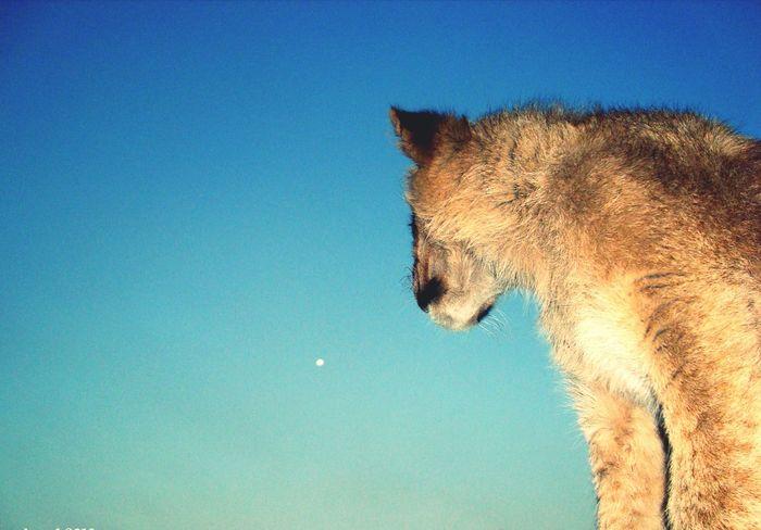 🇿🇦 Lion Close-up No People South Africa Johannesburg Sky Outdoors Cloud - Sky Beauty In Nature Travel Destinations Nature Lion Park The Week On EyeEm Moon Lua  🌒 Lua  Moon Pet Portraits Colour Your Horizn