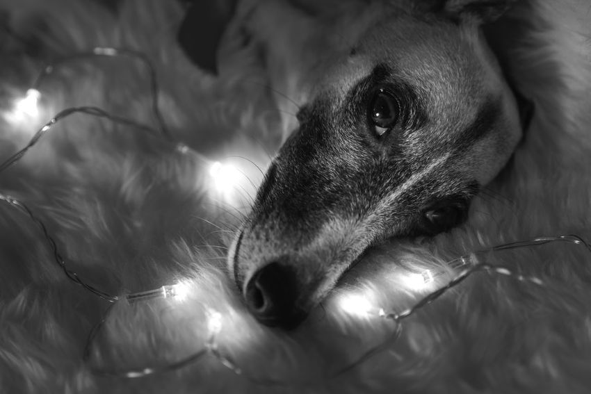 Animal Themes Animals In The Wild Blackandwhite Christmas Close-up Day Indoors  Looking At Camera Mammal Nature No People One Animal Pets Portrait Whippet White