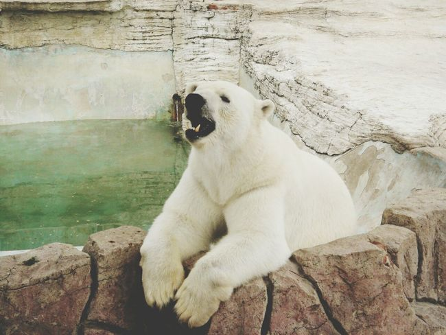 Bear Whitebear White Inthezoo Animals Iloveanimals Zoo Cute Animals Hello ❤